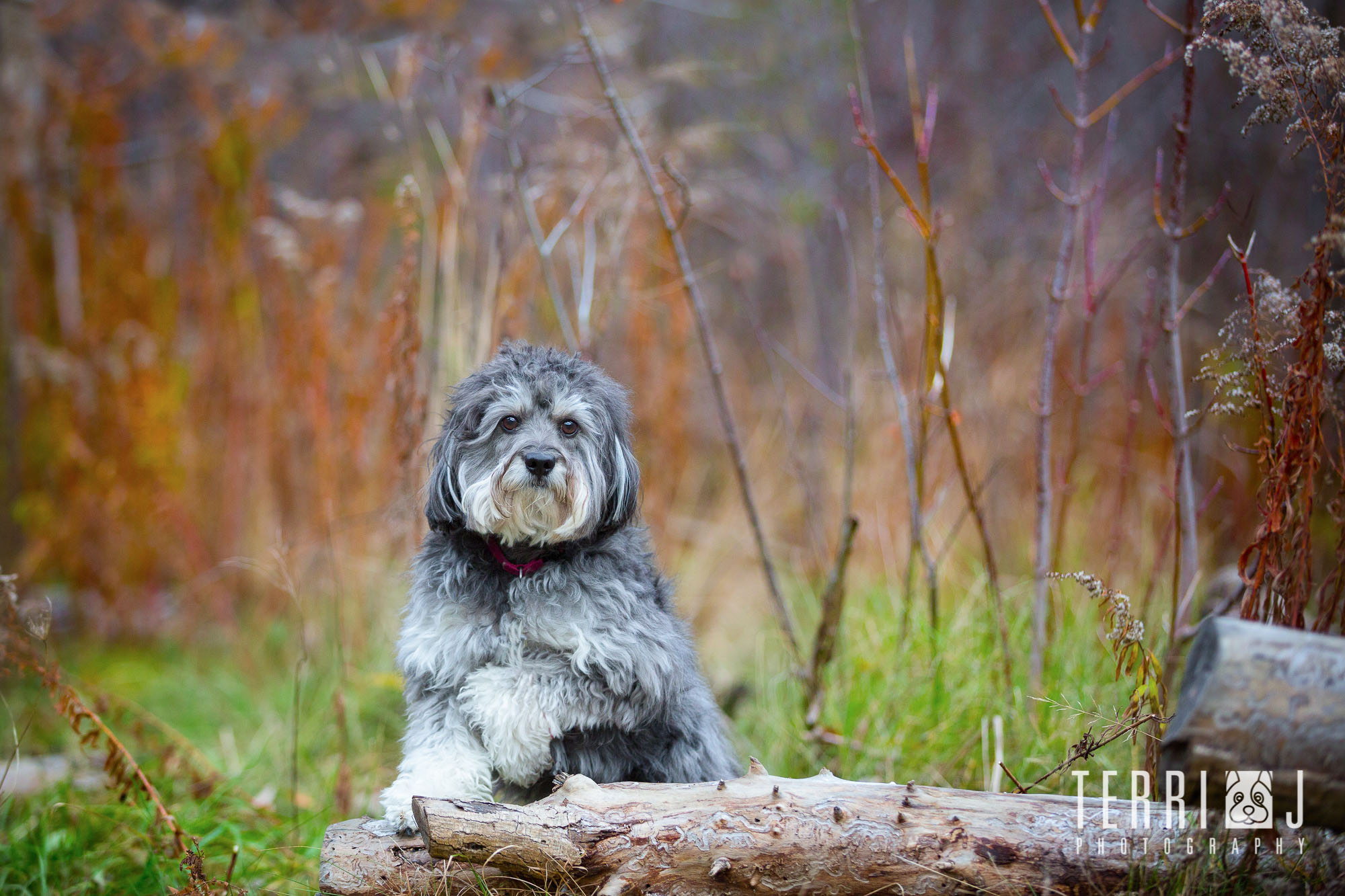 "Scruffy ""poses"" for his fall session"