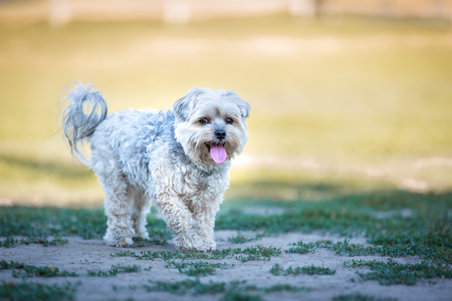 A small fluffy white dog walking. The background is blurred