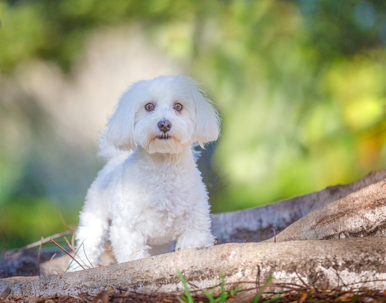 Maltese_dog_park_tree_log
