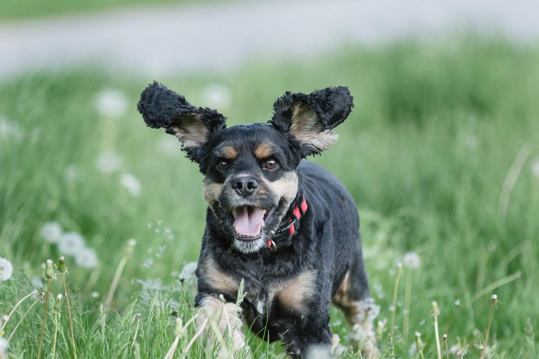 Dog-running-field-grass