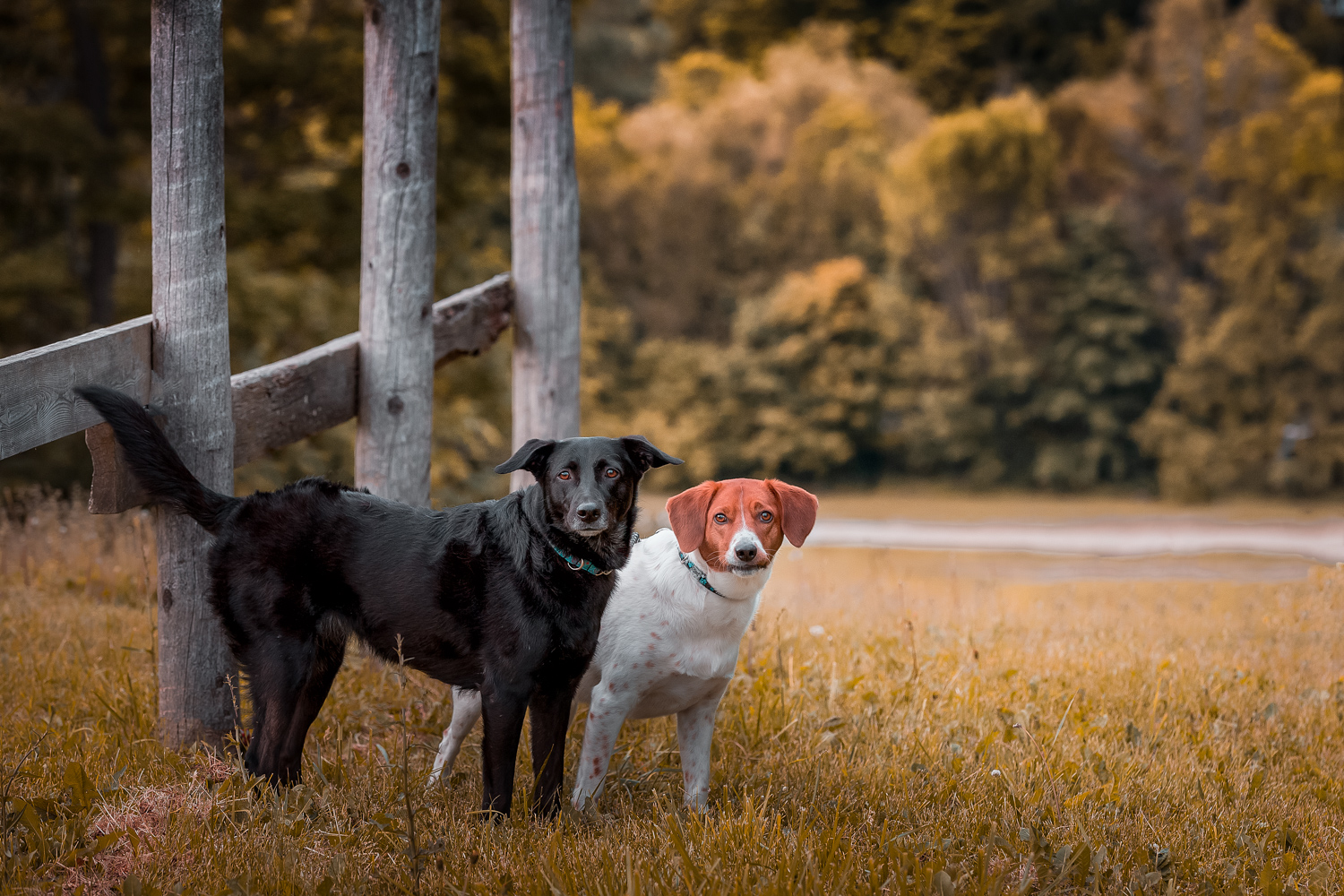 Tow dogs at a fence photographed in Autumn at Earl Bales park Toronto