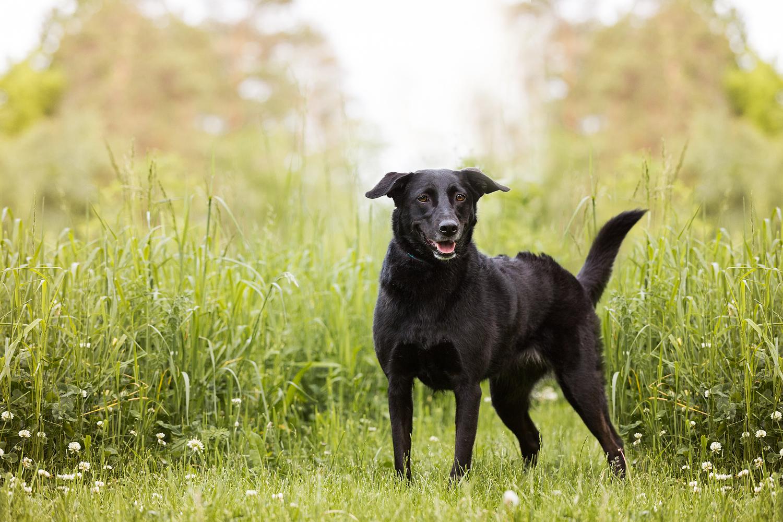 Black Labrador mix dog in tall grass