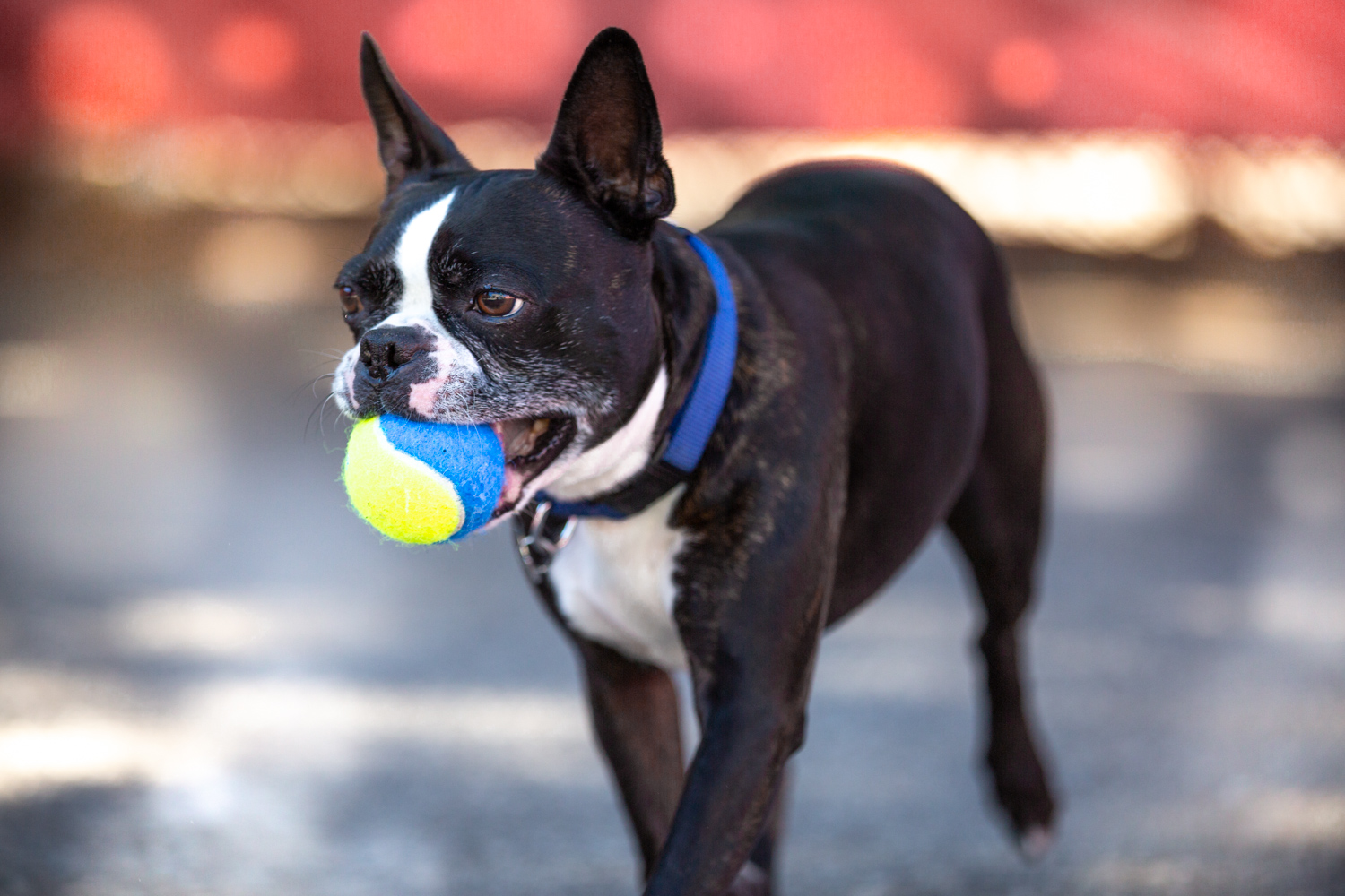 Rescue-Boston-Terrier