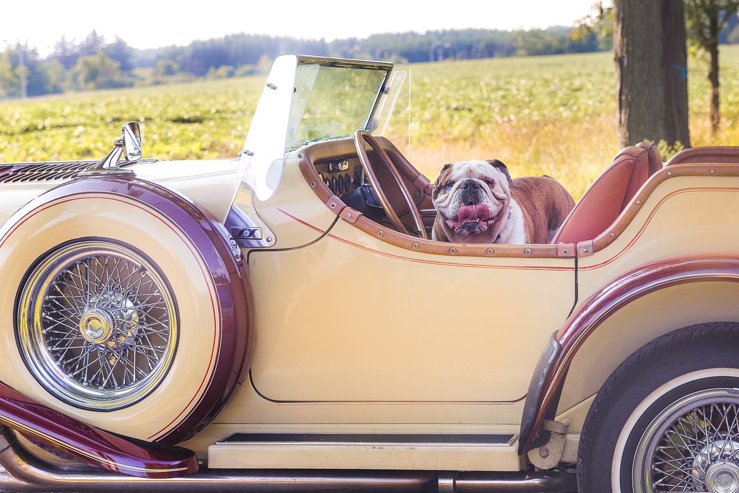 THIS BULLDOG IS HAPPY IN A CLASSIC EXCALIBUR CAR!