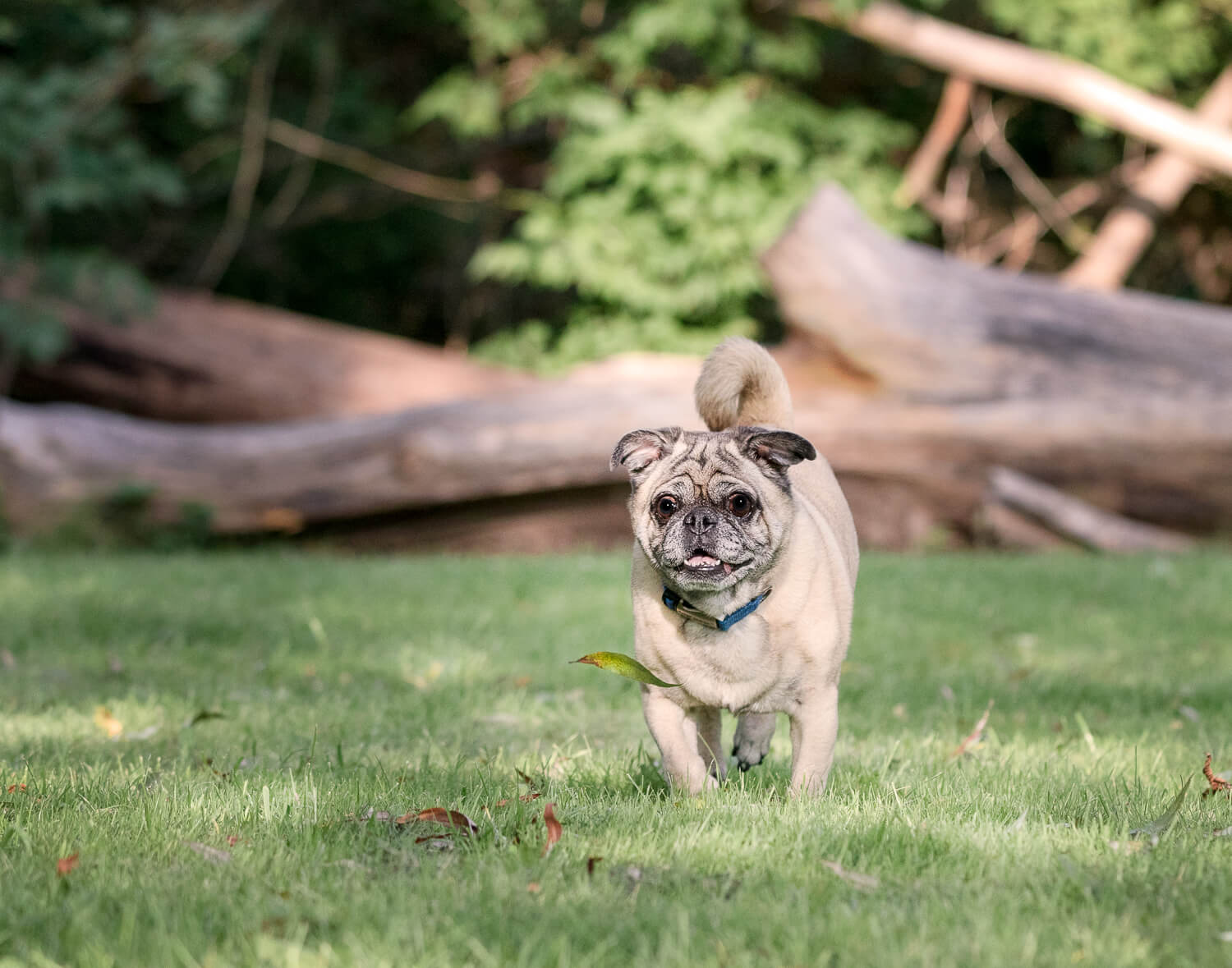 Small pug enjoying his dog photo shoot in Unionville, Ontario