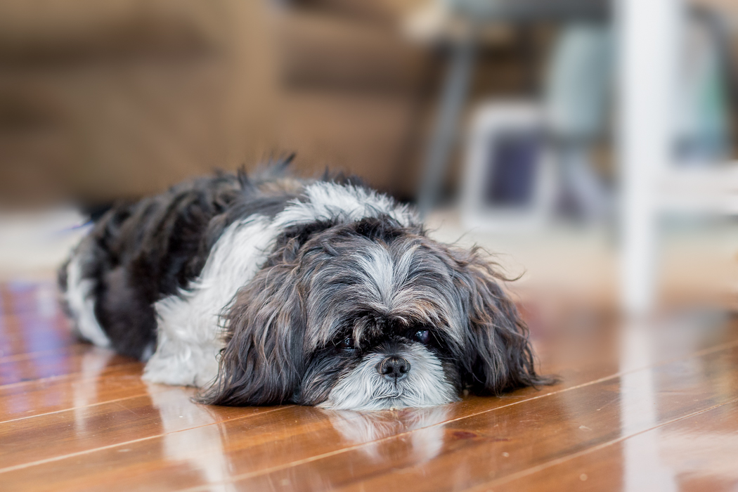 ADORABLE SHI-TZU RELAXING DURING HER AT HOME DOG PHOTO SHOOT
