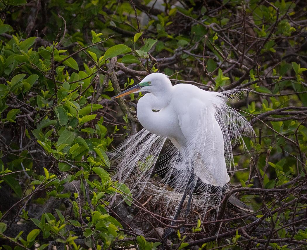 Florida_wildlife-birds_egret_green_eye (1 of 1).jpg