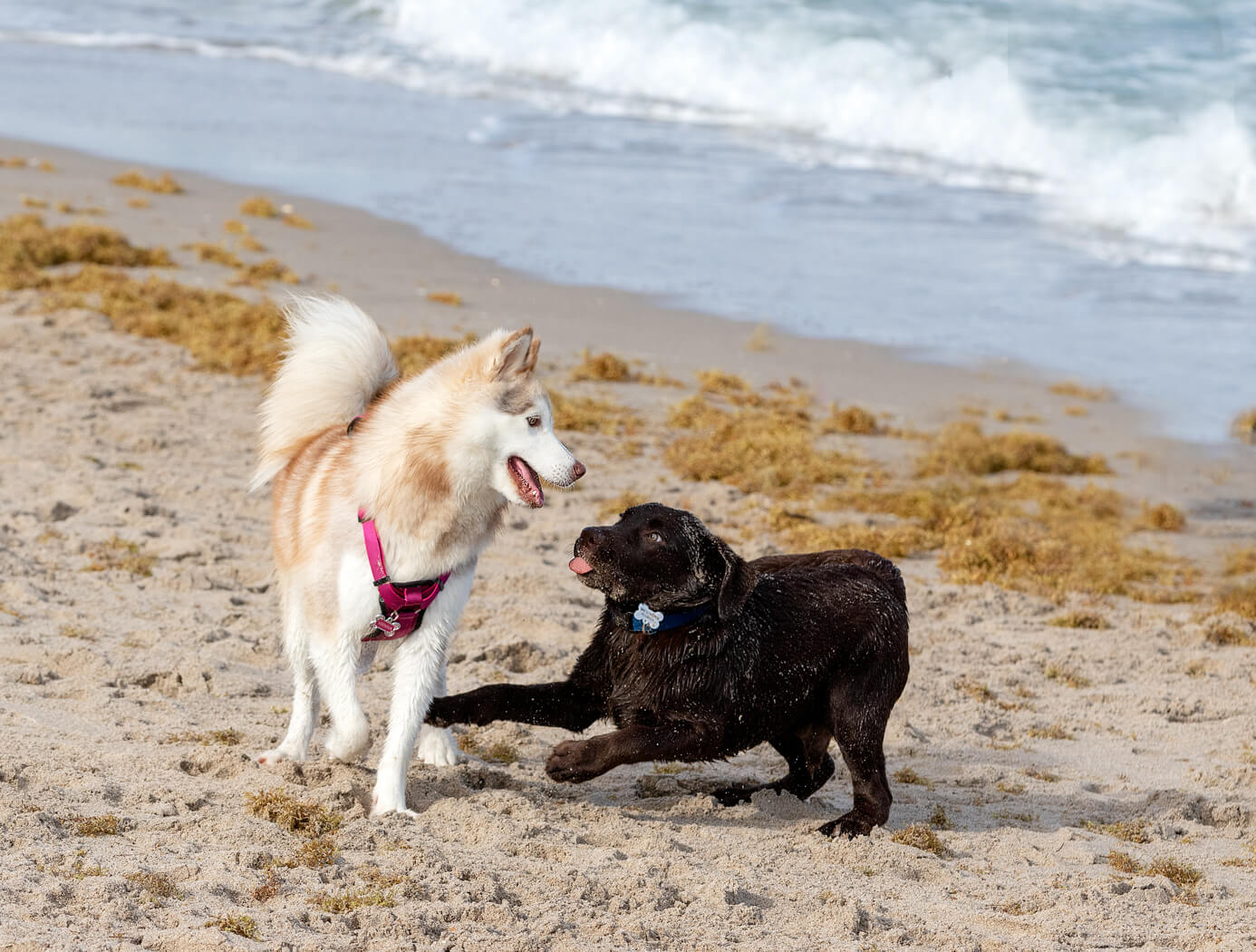 dog-photography-Boca-Raton-beach