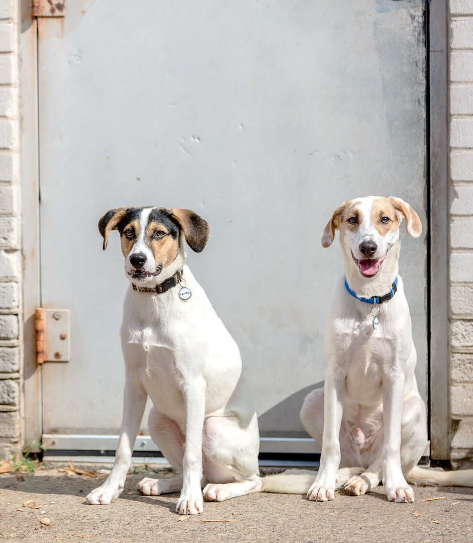 Foxhounds at the shelter door, Etobicoke