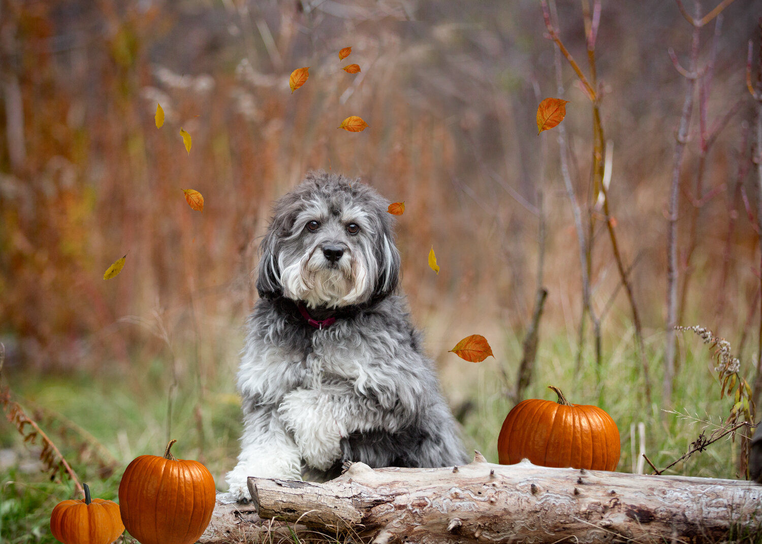 Autumn dog photography Markham
