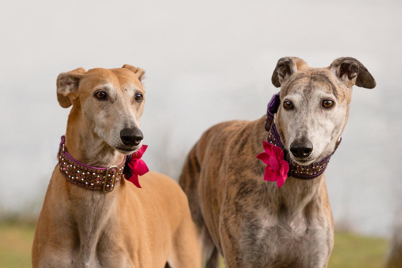 Dog-photographers-Greyhound-portraits