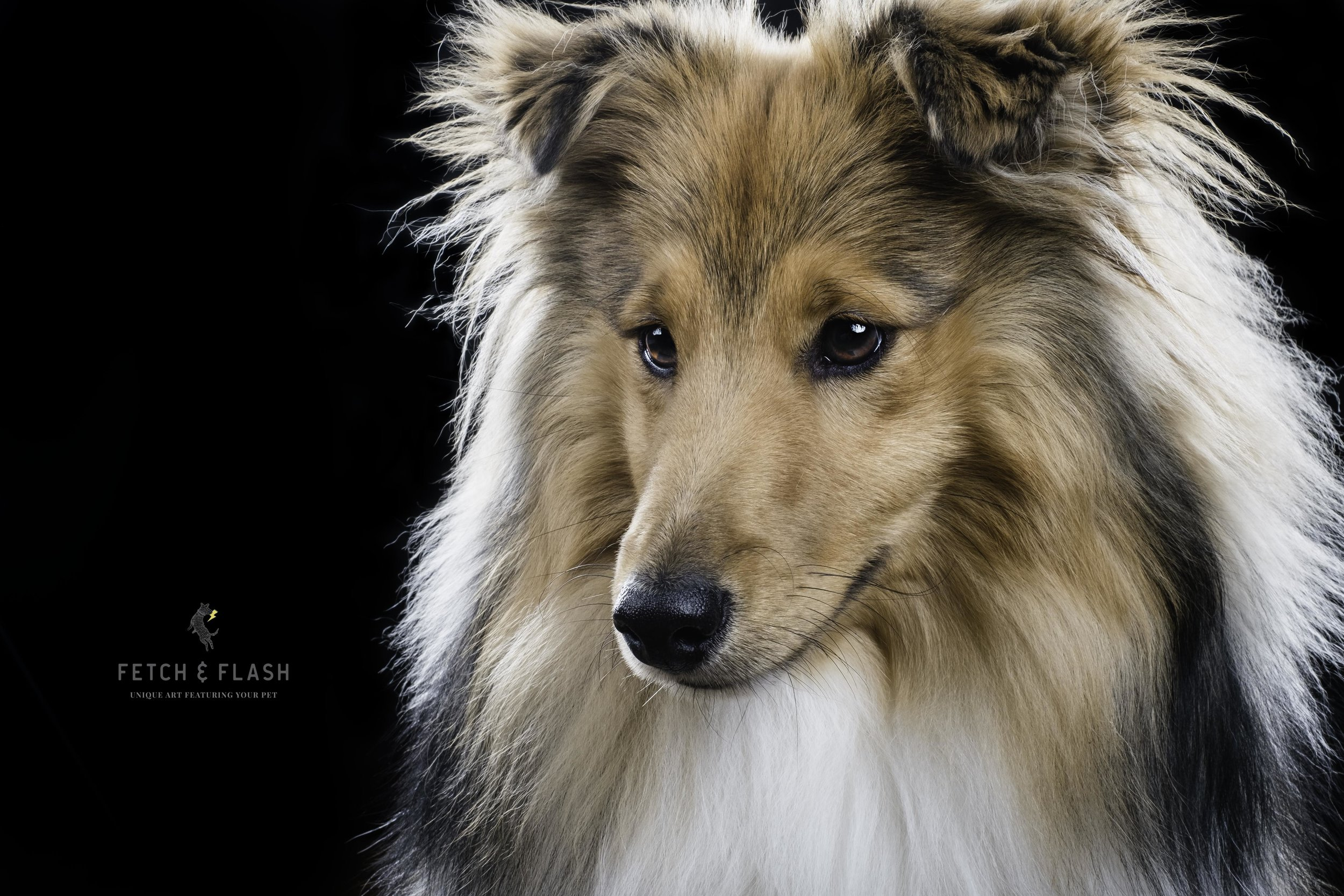 SheltiePhoto_EdinburghDogPhotographer_FetchandFlash.jpg