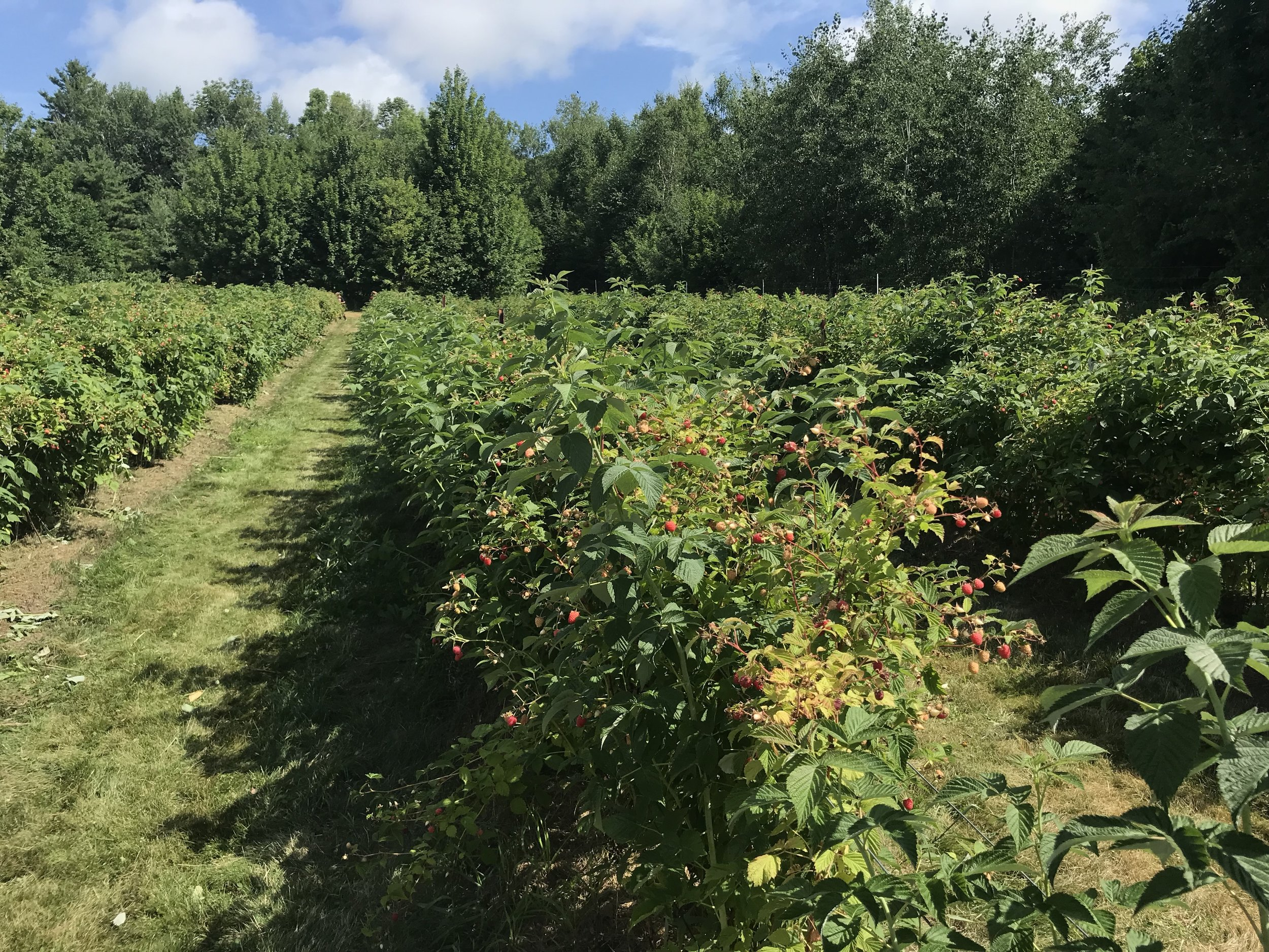 The raspberries spread out across a couple large fields.