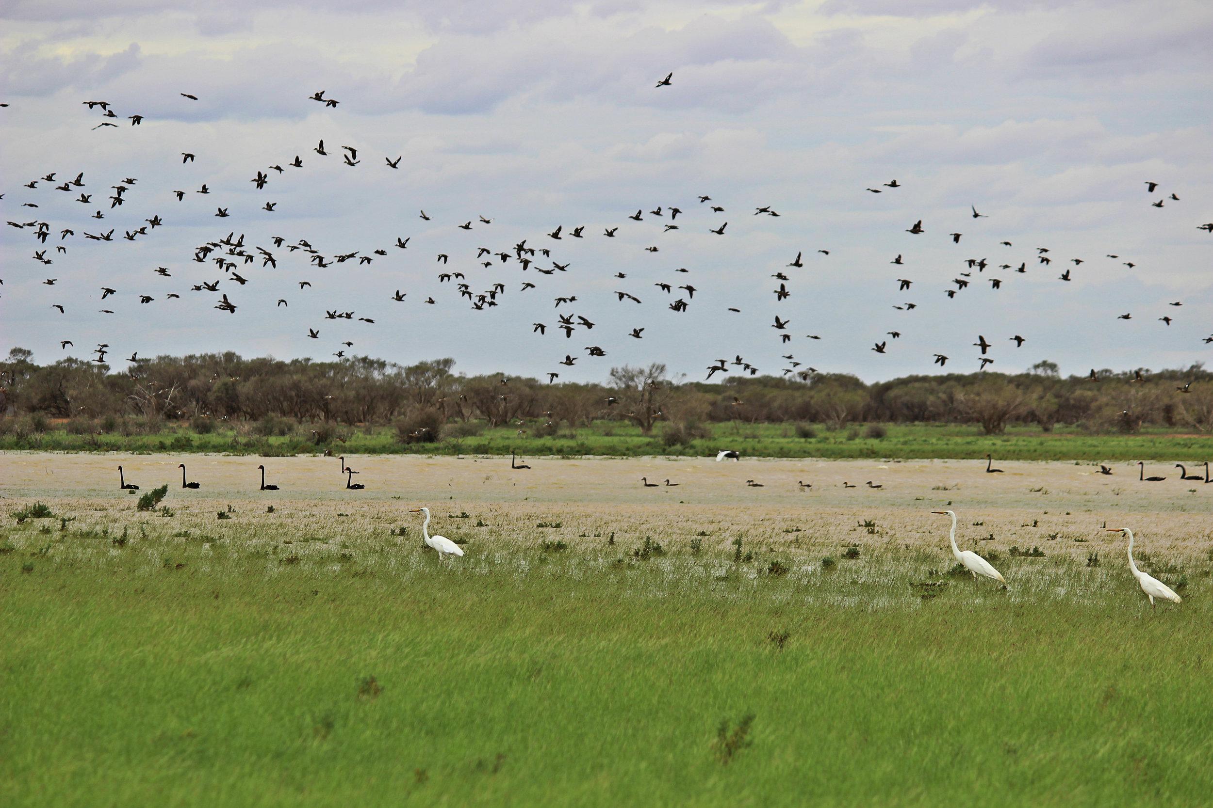 lakeneckbirds.jpg