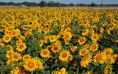 Sunflower Fields at the Wild Seed Farm