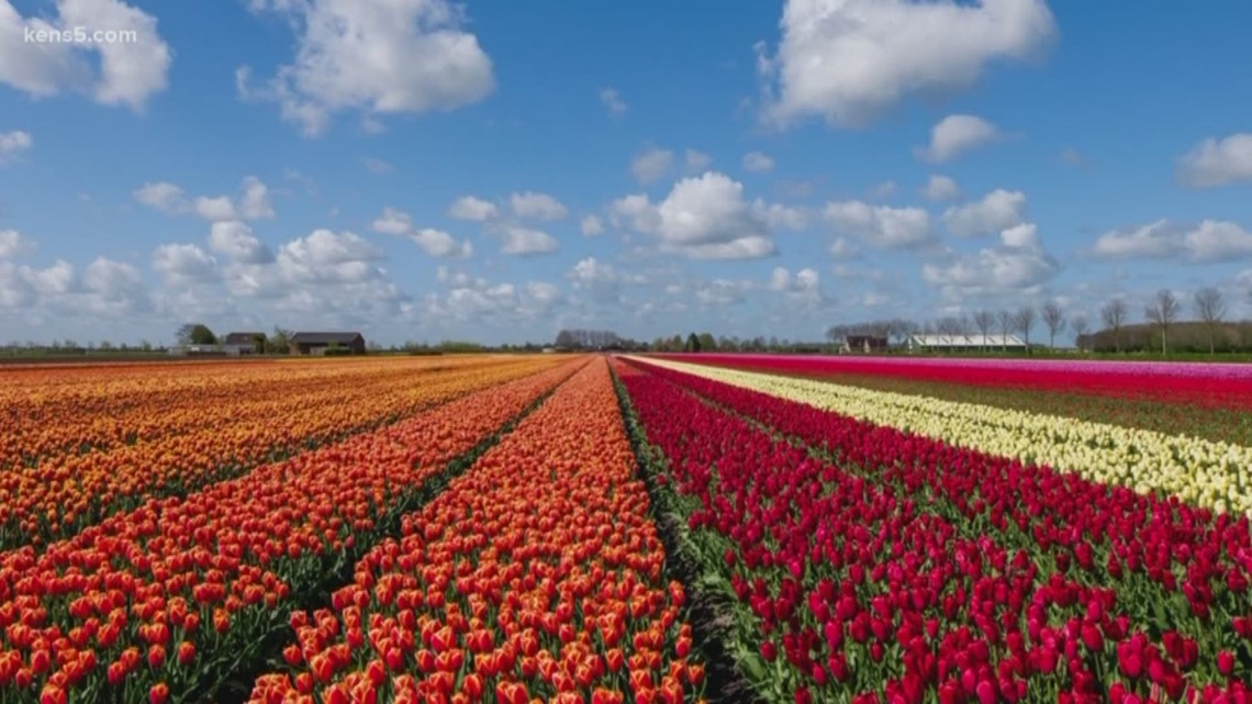 Courteys of the Texas Tulip Fields