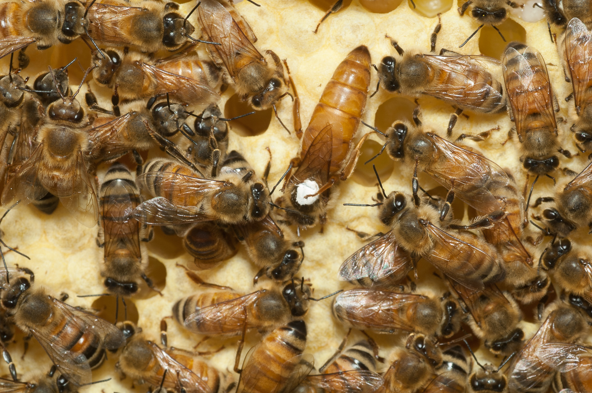 Queen surrounded by workers.