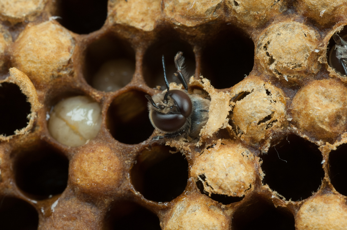 """Baby"" bees emerging from their cells."