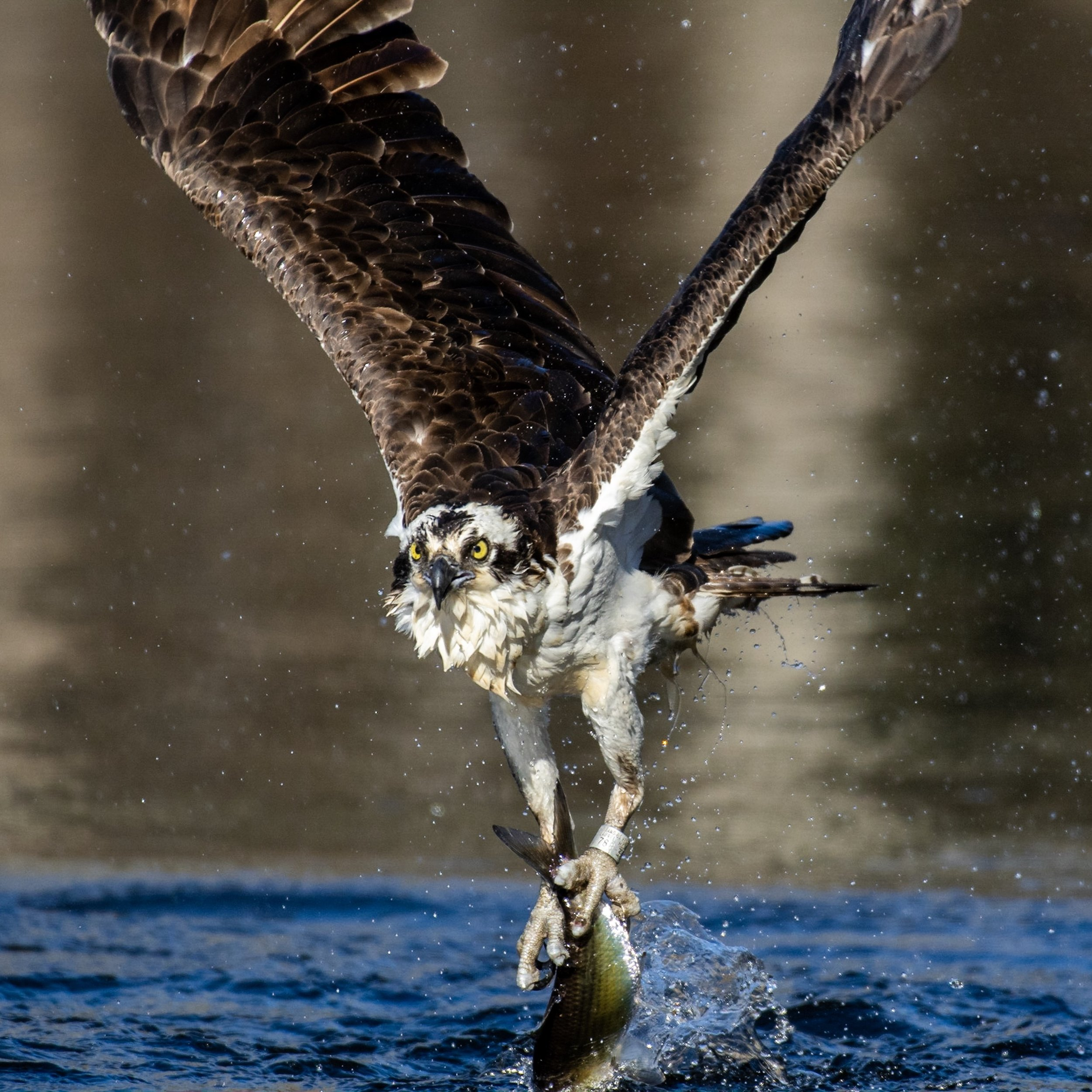 Osprey climbing out of the water with a fish.