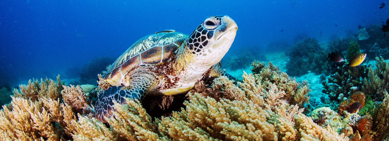 Eco-Friendly - sea turtle swimming among coral