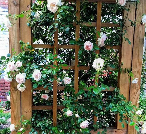 gardenrose.png