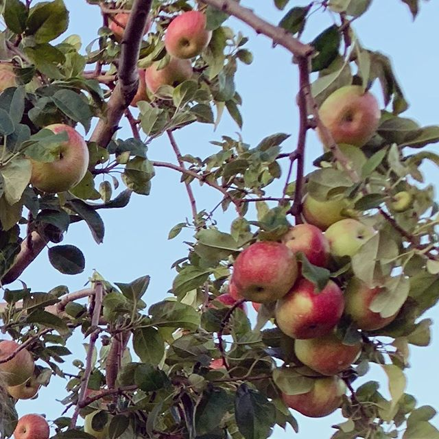 How about them apples? 🌳🍎🍏#applepicking by sunset in a friend's orchard 🎯#hamptonsfarm #writinginspiration #authorsofinstagram