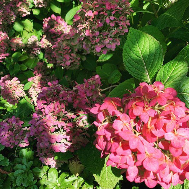 Last call, fair warning 🌺 #gardengram #hydrangealove #writersofinstagram