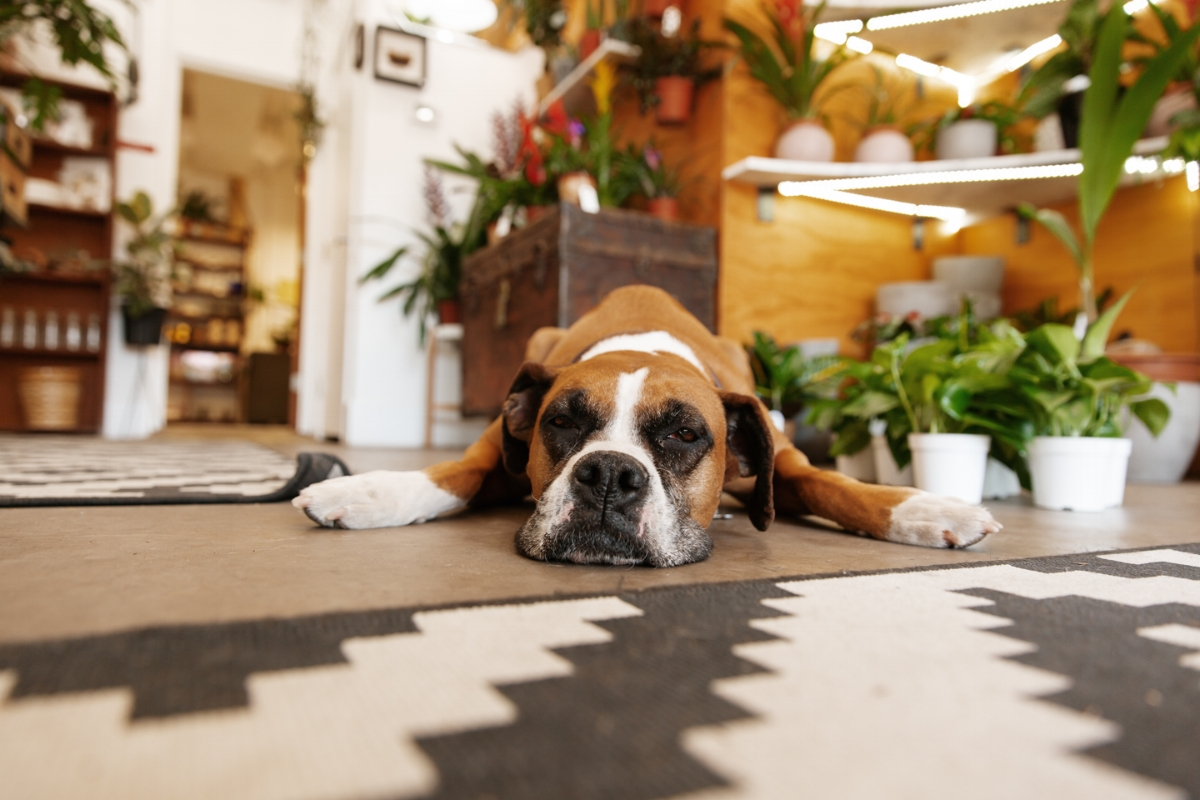 """As you walk into Pueblo, you're greeted by their often sleepy, good vibes mascot, a boxer named Bennie. She even comes with her own accolades, being named """"best boutique pet"""" by Phoenix Magazine."""