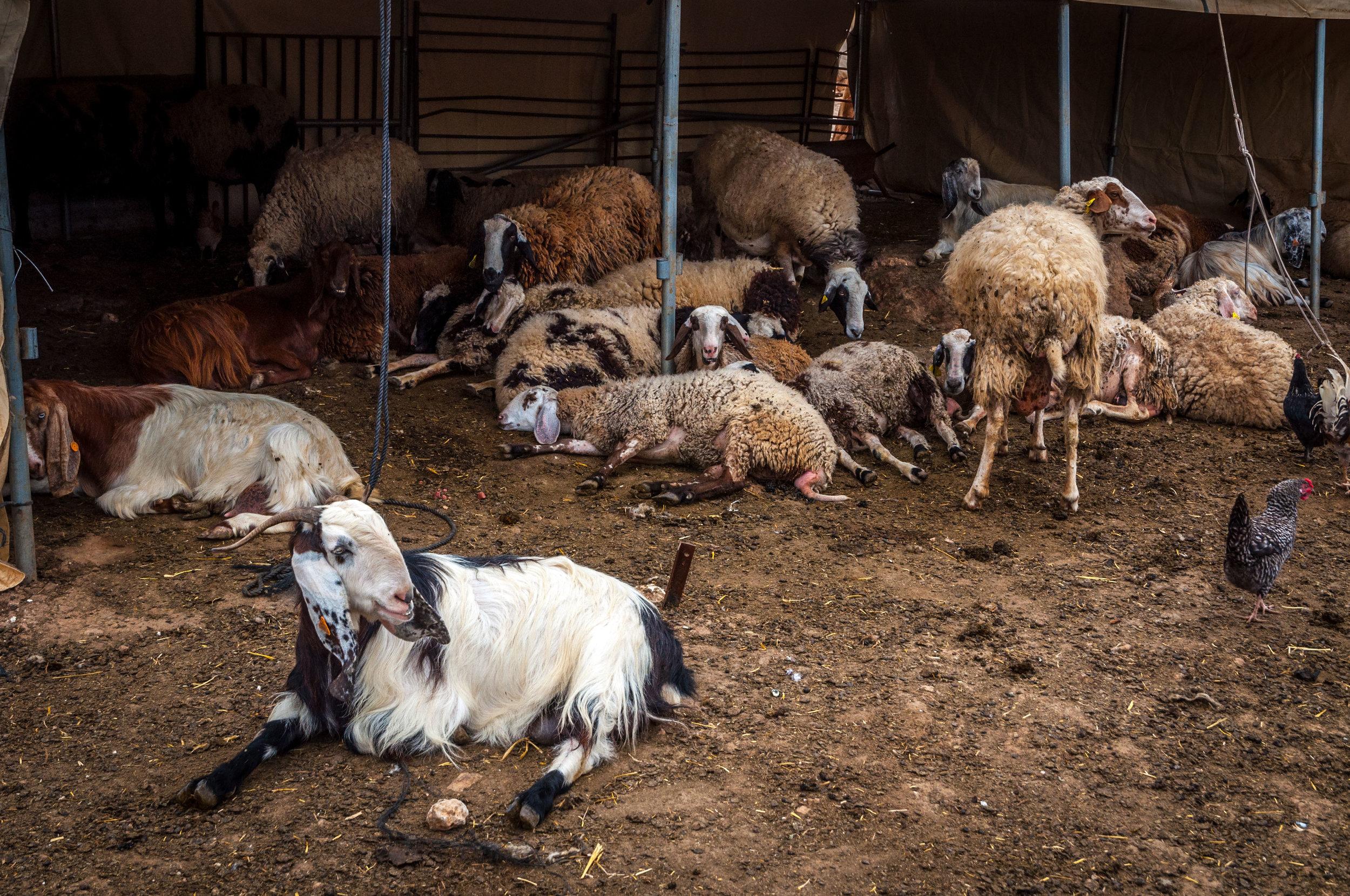 Goats being goats.