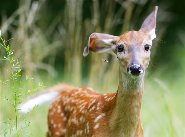 A whitetail deer fawn swats away a mosquito with an ear while foraging at Pearson Metropark Preserve.