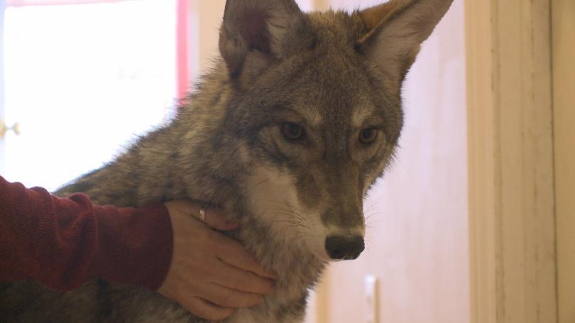 Coyote35.jpg