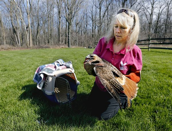 Laura Zitzelberger, operations manager of Nature's Nursery, prepares to release a red-tailed hawk back into the wild.