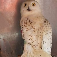 Injured Snowy Owl rehabbing at Nature's Nursery