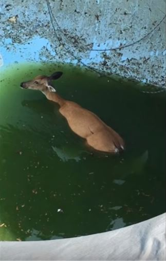 Deer_in_pool2018.JPG