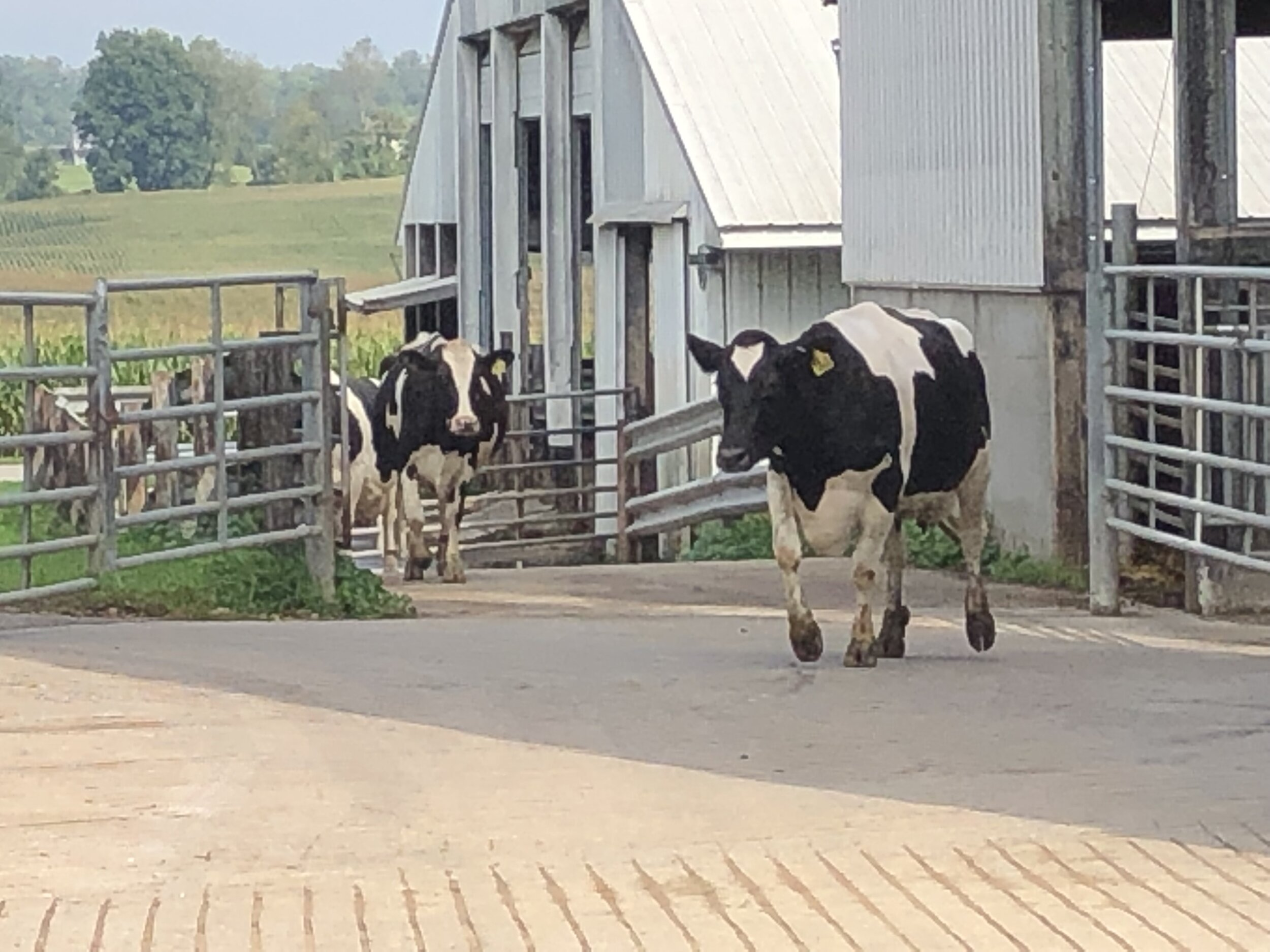 The first new cow coming up to the parlor.
