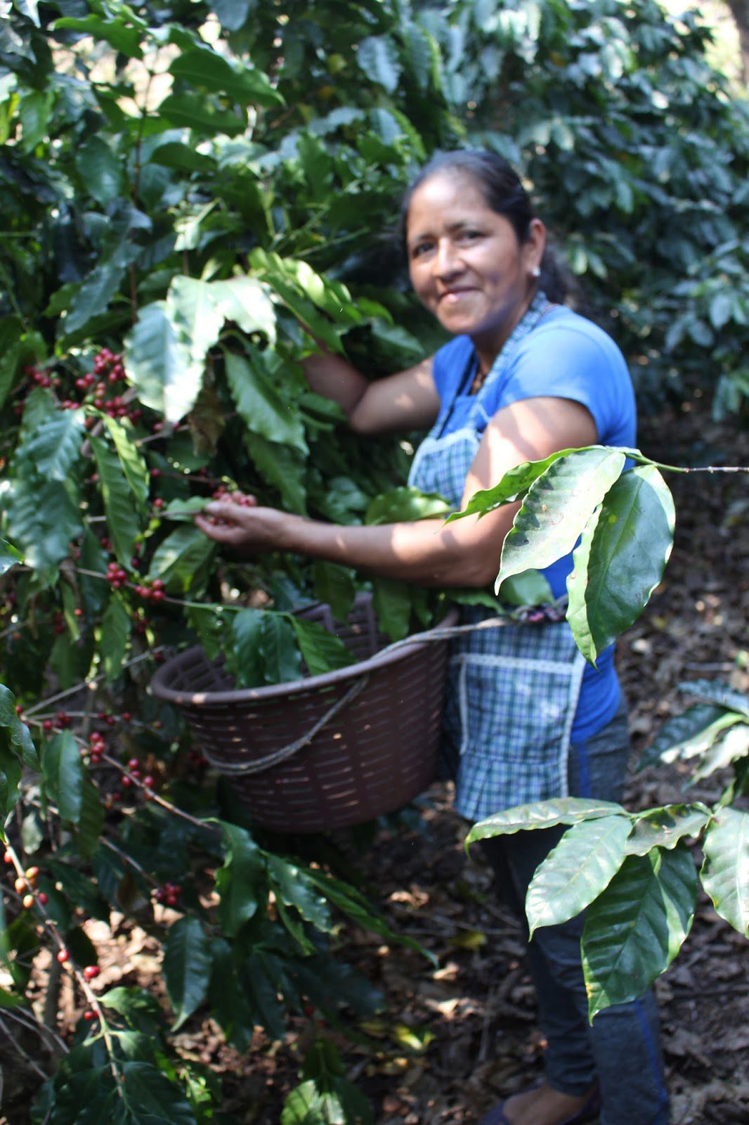 Juanita with some of her coffee. Her fields looked healthy and well cared for.