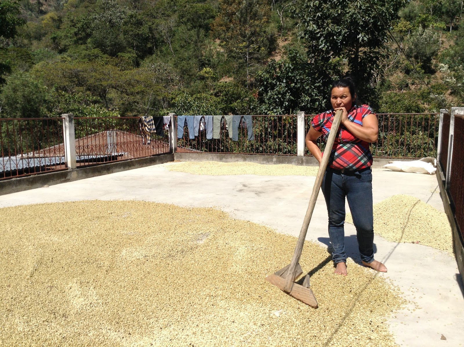 Orfa raking her coffee. The coffee dries on a cement patio for 4-5 days. The raking is done each hour helping for even drying.