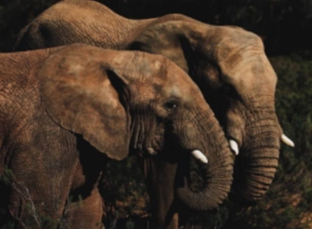 Illegal Wildlife Trade   The illegal wildlife trade is putting some of the world's most iconic species, including rhinos and elephants at risk of extinction.   CINTOC is mapping the powerful crime syndicates that finance the global illegal wildlife trade.