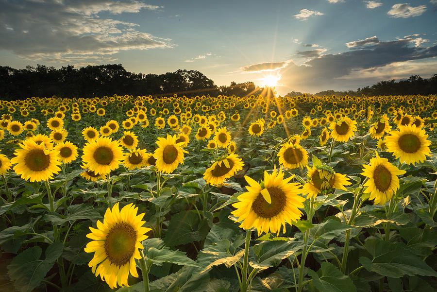 poolesville-sunflowers-color-martin-radigan.jpg