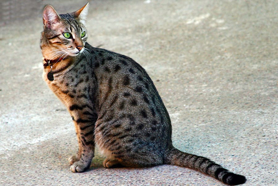 It's unlikely that cats in ancient Egypt actually looked like an Egyptian Mau looks like now, but they're so pretty, and I love them, so I'm imagining Nedjem as a Mau. :)
