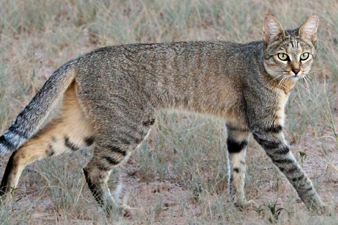 "This is the African Wildcat. From what I've been reading, this is probably what ancient Egyptian cats looked like. Honestly, it's probably what ALL cats looked like at that time. But for the sake of differentiating them in my head, I've been envisioning just Bahadur (Persian cat) as an African wildcat (i haven't been able to find ANY descriptions of cats in ancient Persia because than I just pull up ""Persian cats,"" which probably didn't develop until like, the 1700s)."