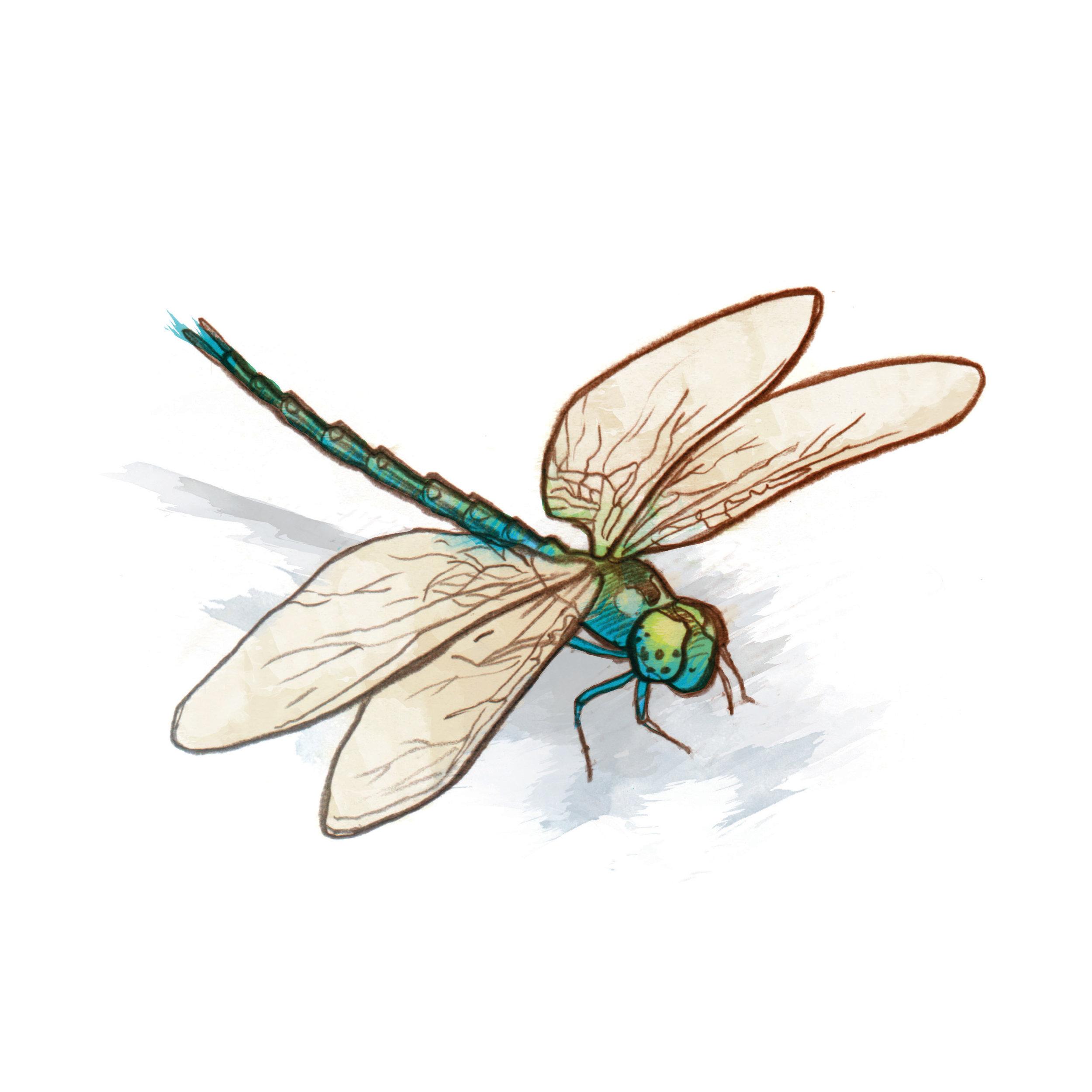 MLC_Keswick_WetlandSignage_Dragonfly_040816_v2.jpg