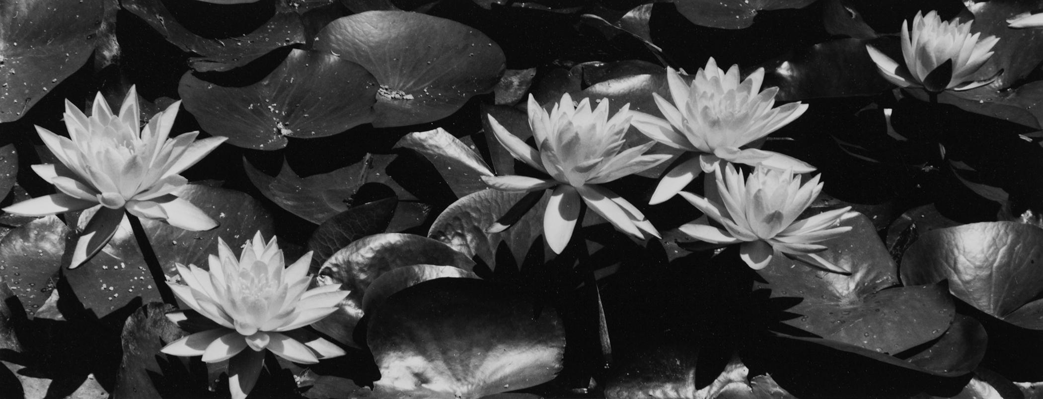 Lilies #6, Pasadena, CA, 2015.jpg
