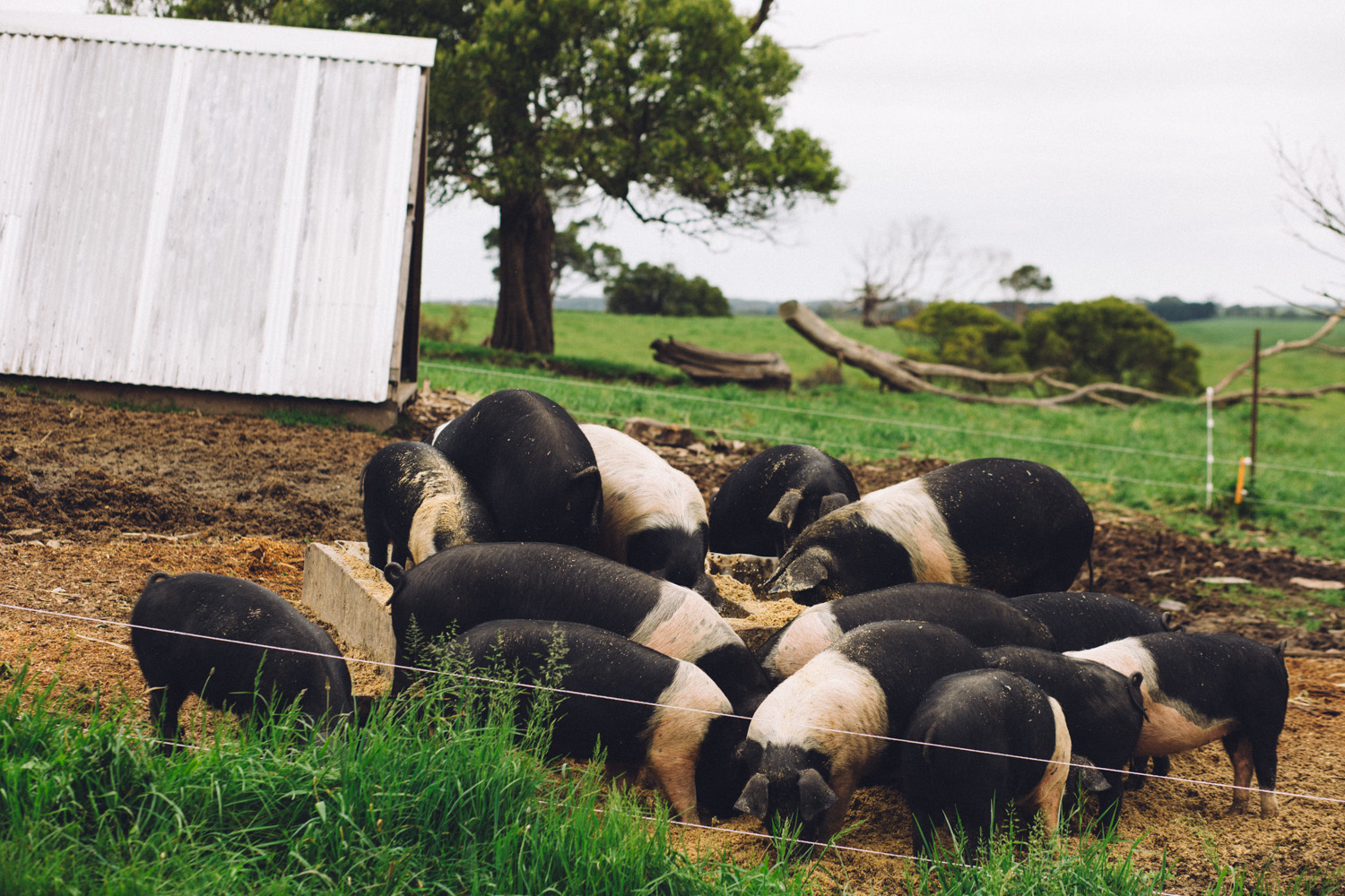 Pigs foraging for food at Amber Creek Farm, Fish Creek, 2016. Source: Museums Victoria, Photograph: Catherine Forge