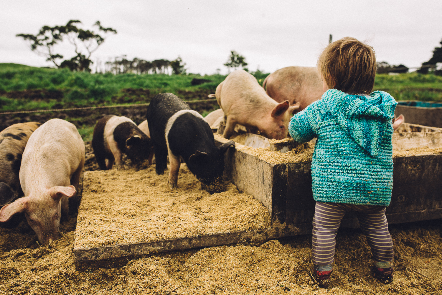 Title:   Amelia Bright's daughter Hazel playing with pigs at Amber Creek Farm,  Fish Creek, 2016.  Source:  Museums Victoria  Photographer:  Catherine Forge