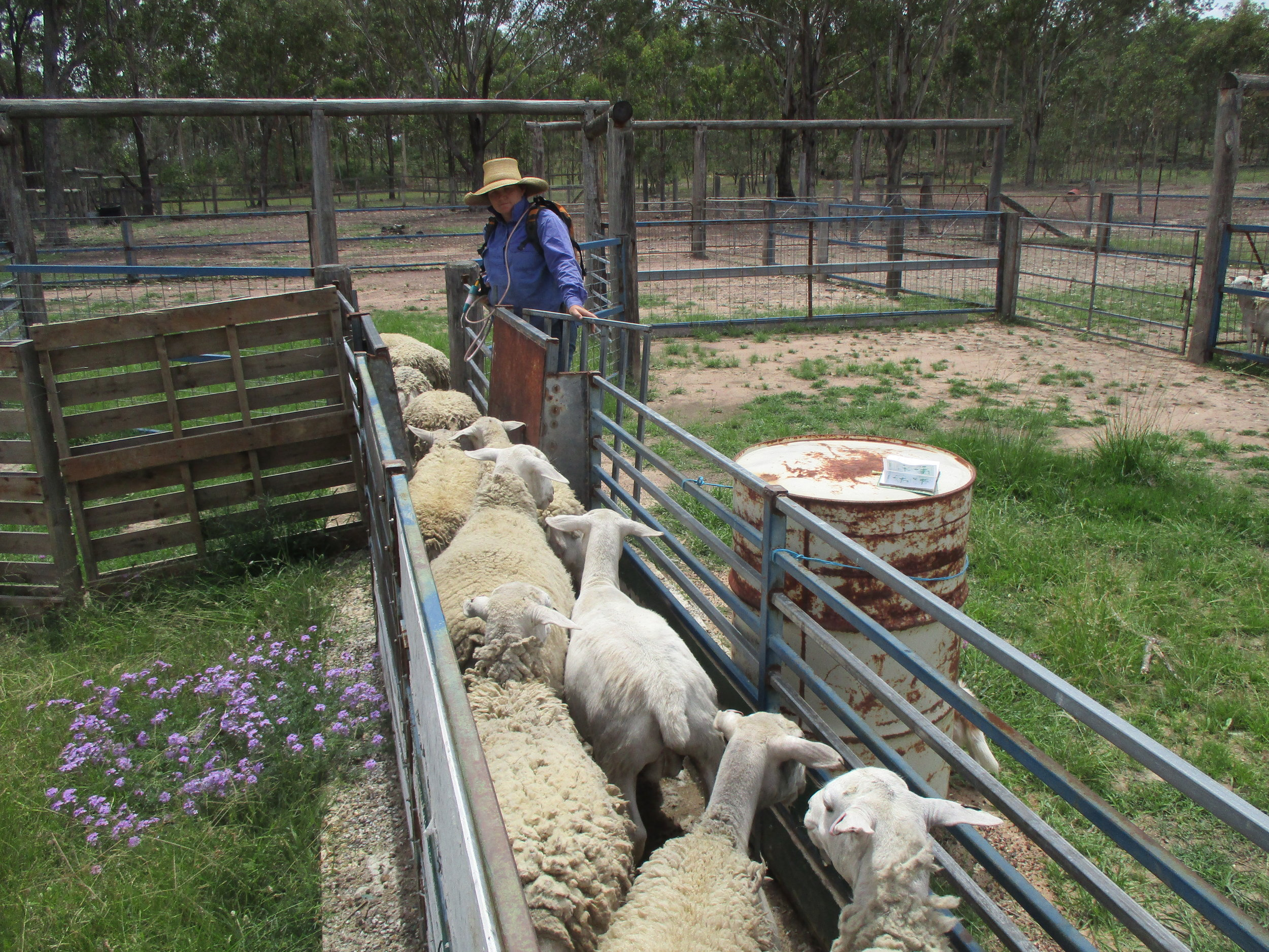 Working sheep in the 'Honeymoon Yard', 2017, image supplied.