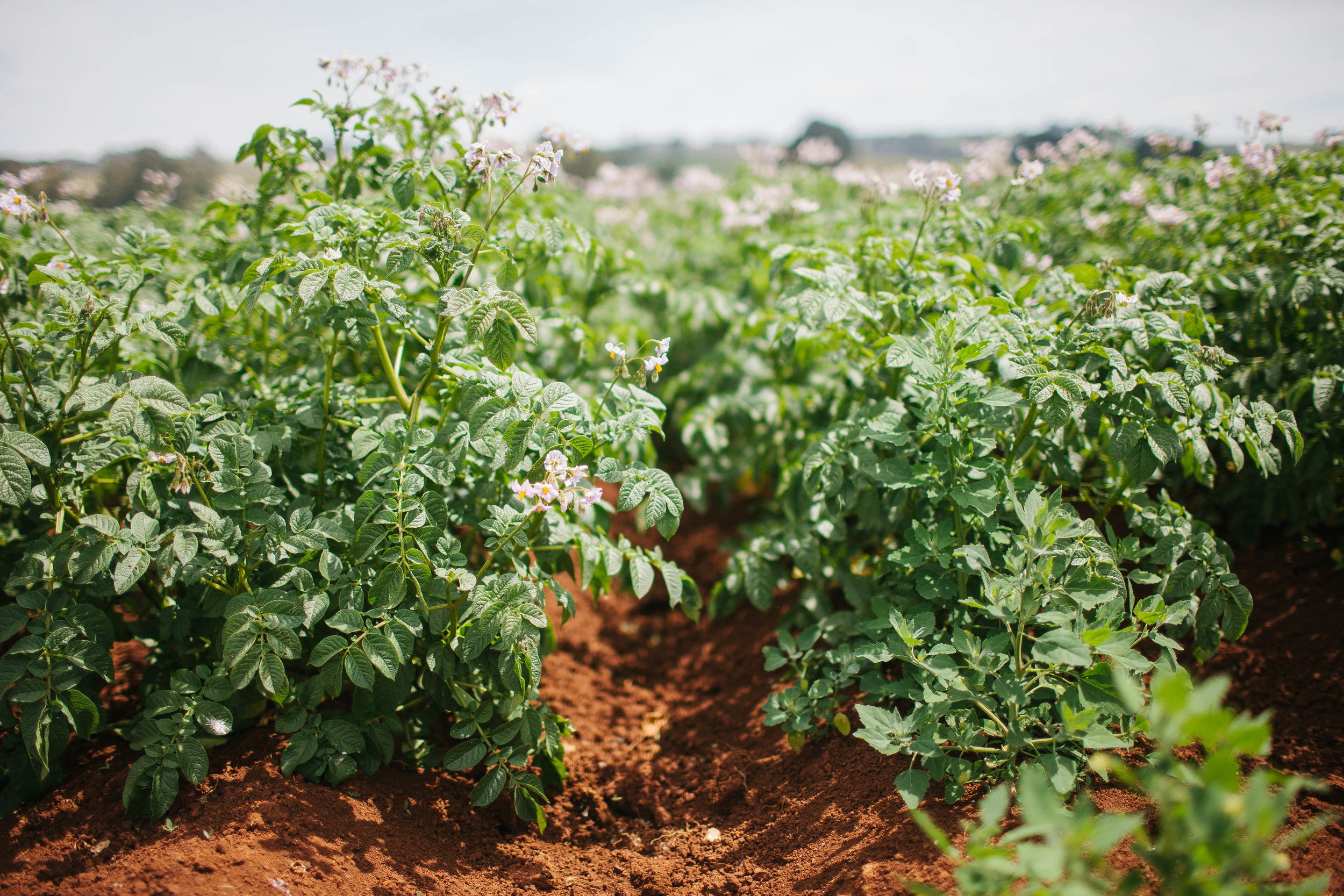 The Perfectly Roasted Potato-11.jpg