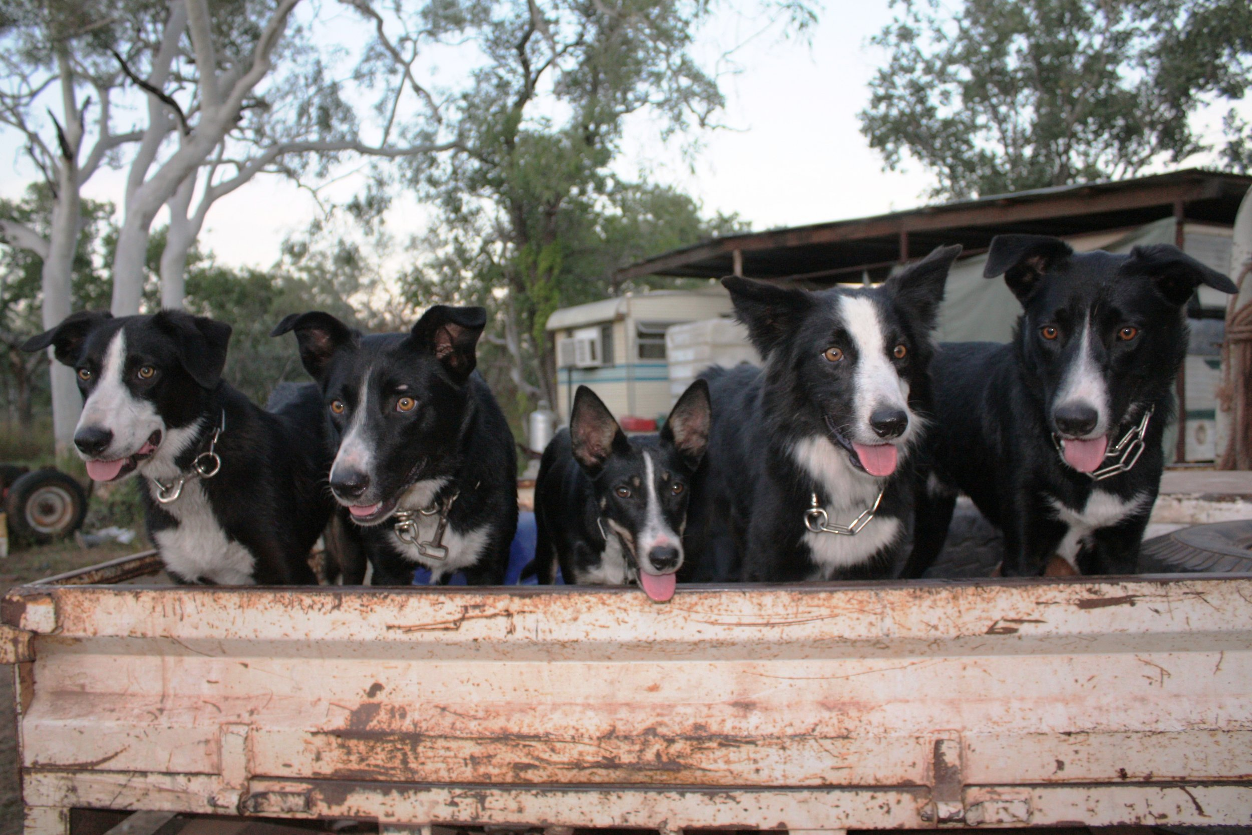 Lisa's working dogs. Left to right: Clown, Blip, Willie, Dennis and Burr, image supplied.