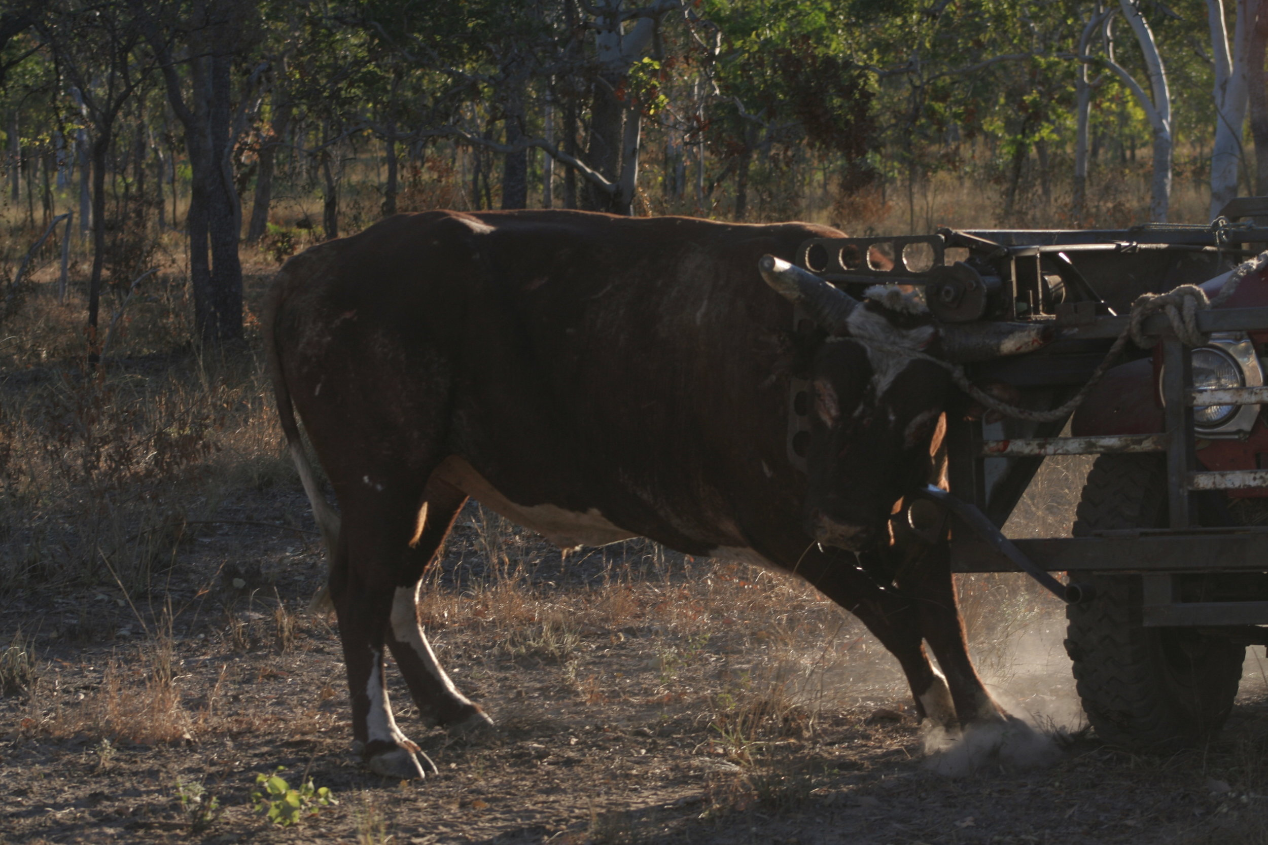 """Bull catching in """"the Cherry"""", image supplied."""