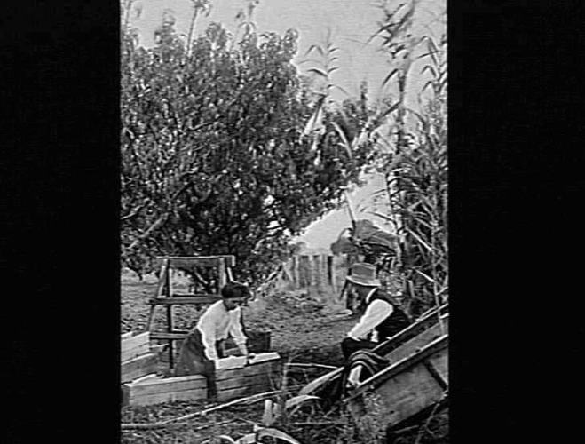 A woman and man picking and packing fruit in Merrigum near Shepparton, Victoria, circa 1910-1920, Source: Museums Victoria:  https://collections.museumvictoria.com.au/items/765101